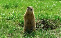 4 Hazards Of Having Gophers On Your Property